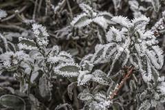 Erster Frost - 0029_Web (berni.radke) Tags: ersterfrost frost raureif wassertropfen rime eisblumen eiskristalle iceflowers icecrystals escarcha