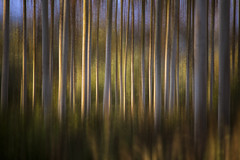 Blur (Rob Scamp) Tags: birches silverbirches trees woodland woods panning motion morning sunrise robscamp nikon d810