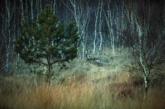 """ Deer in autumn "" #Gildehauservenn# (Kalbonsai) Tags: outdoorphotography naturshot nikon d5100 55300mm gildehauservenn trees deer hert heide germany wals bos forrest"