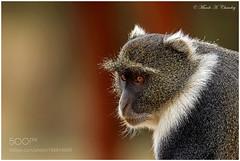 The Sykic! (PhiladelphiaHVAC165) Tags: wild africa nairobi kenya wildlife primate outdoors monkey animal african national park sykes samango macs pixels old world the sykic cercopithecus albogularis whitethroated