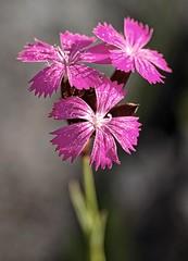 godzik // Dianthus (stempel*) Tags: pentax k30 50mm gambezia polska poland polen polonia flower kwiat godzik dianthus dof 7dwf