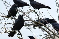 The Biodiversity of the Union Bay Natural Area: Post Restoration 2 (Scott Jamison) Tags: rain sky crow corvid