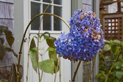 Still Blue (brucetopher) Tags: hydrangea blue bloom flower flowers latebloomer colorful standingout outstanding different unique color garden gardening globalwarming warm weather unseasonable fall autumn