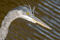 Majestic Close-up (MelRoseJ) Tags: davis california unitedstates a77ii alpha autofocus sonyalpha sal70400g sony sonyilca77m2 nature birds greatblueheron