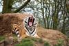 Amur Tiger at Dartmoor Zoological Park. Taken on 20-04-2008 - 13_04_42.jpg (atthezoouk) Tags: amurtiger animalphotos biaza camera canoneos350ddigital cats dartmoorzoo siberiantiger zoos sparkwell devon england zooanimals zoophotos