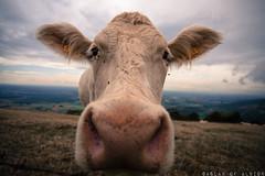 Museau d'herbivore (Askais) Tags: cow blanche vache museau grandangle