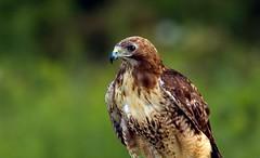 Red Tail Hawk (wrpryde) Tags: naturaleza ontario bird nature nikon bravo outdoor natur raptor oiseau nikkor300mm