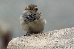 Stadtspatzen (binax25) Tags: bird animal fauna dresden natur sparrow stadt tier vogel spatz sperling haussperling
