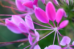 Cleome (bryan_rittenberry) Tags: pink plant flower nature cleome