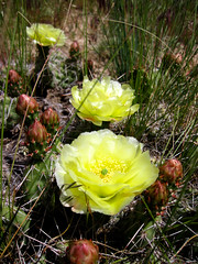 Prickly Pear in Yellow
