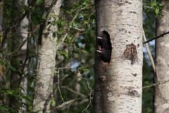 Black woodpecker chicks (Toni K.) Tags: bird animal suomi finland chick aspen eläin haapa lintu blackwoodpecker linnunpoikanen palokärki