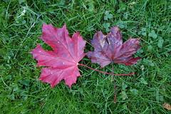 Autumn Leaves (MariPanda) Tags: autumn red leaves oslo norway norge autumnleaves september dagny hst blader rdt kjelss hstblader myrsnipa september2015 hst2015