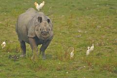 endangered Greater One-horned Rhino with Cattle Egret, Kaziranga NP, India (cirdantravels (Fons Buts)) Tags: rhino egret rhinoceros reiger héron neushoorn nashorn reiher kaziranga