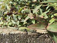 Lucertola al sole (Mastercaio76) Tags: 6 verde apple fauna flora monte animali iphone lucertola serpente ramarro rettili grimano