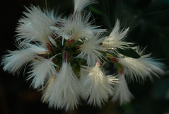 Plumeros (dnieper) Tags: euskalherria eriophorum urdaibai plumeros rademundaka