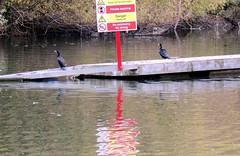2015-10-15   02   Caversham lock cut – great place for a shag (Mark & Naomi Iliff) Tags: birds thames river shag caversham lockcut