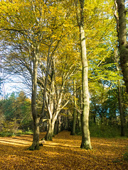 Avenue, Nut Wood