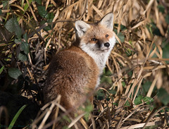 Fox in the sun (ian._harris) Tags: digital fox ryemeads