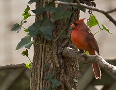 cardinal on a branch (Anne Davis 773) Tags: bird cardinal 319365 2015365