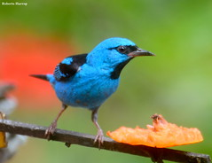 Sara-azul-turquesa (Dacnis cayana) - Blue Dacnis (Roberto Harrop) Tags: birds aves aldeia passaros bluedacnis paudalho dacniscayana sara saraazulturquesa robertoharrop