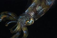 Tentacle monster (Sepioteuthis lessoniana) (Arne Kuilman) Tags: night diving squid anilao 60mm tentacle edit cephalopod nightdive sepioteuthislessoniana nachtduik explored reefsquid chromatophores anilaopier