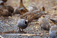 California quail (herbal tree) Tags: california new travel bird nature june island wildlife north zealand backpacker quail campervan 2015