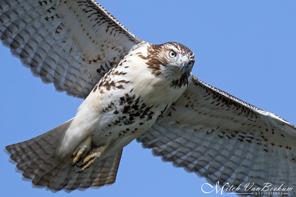 Close Encounters (Red-Tailed Hawk)