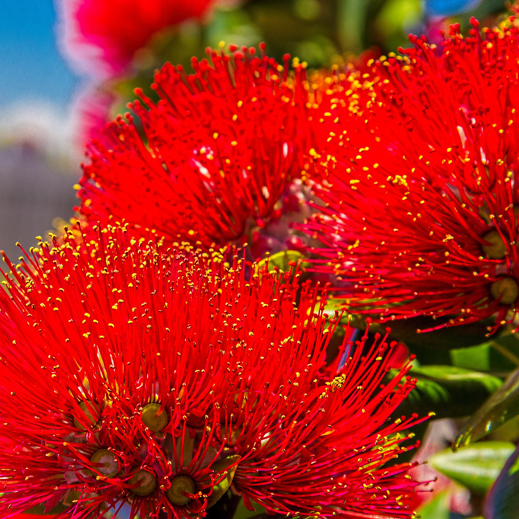 The World S Best Photos Of Flowers And Pohutukawa Flickr Hive Mind