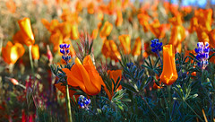 Wildflowers (Rennett Stowe) Tags: california morning travel flowers favorite flower beautiful beauty field festival america photography spring truth unitedstates natural god random unitedstatesofamerica dream conservation clarity peaceful dreaming creativecommons attractive cruiseship land lancaster bloom fields environment wildflowers bouquet lovely southerncalifornia antelopevalley delicate biology springflowers californiapoppy springtime sustainability blooming ohmy toomuch californiastatepark lovelyday macrophotography sustain flowerfield antelopevalleypoppyreserve blueflowers orangeflowers orangepoppy lancastercalifornia nakedtruth canonlenses thestates morningmorning winterdream canonef100mmf28macrousm orangepoppies wildflowerfield wildpoppies unknownplaces corporatesustainability canonmacrolense sublimebeauty canoneos5dmarkiii popularphotographs creativecommonsflower nuance antelopevalleycaliforinia