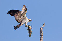 Meal time! (bmse) Tags: fish canon landing l f56 osprey salah bolsachica 400mm wingsinmotion 7d2 bmse baazizi