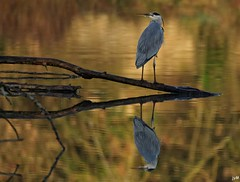 Heron (jymandu) Tags:
