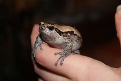 Kaloula pulchra (J_turner6) Tags: pets asian warrington painted amphibian frog chubby exotics bullfrog pulchra kaloula