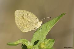 resHi 5614 butterfly (annSatt) Tags: butterfly barredyelloweuremadaira barredyellow