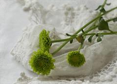 lime green pop ( *..CAH.. * ) Tags: limegreen flower stilllife chrysanthemum whitebackground softlight texture