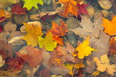 Autumn Leaves in the Pond (A Great Capture) Tags: mapleleaves feuillage canada canadian photographer northamerica ash2276 ashleylduffus ald mobilejay jamesmitchell fall autumn agreatcapture agc wwwagreatcapturecom adjm qubec montral montreal quebec leaves under water underwater maple fountain parc park rocks stones fallen colorful colourful automne