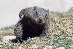 Cape Breton Island - Two Rivers Wildlife Park - Murmeltier (astroaxel) Tags: kanada atlantik provinzen nova scotia cape breton island twi rivers wildlife park murmeltier