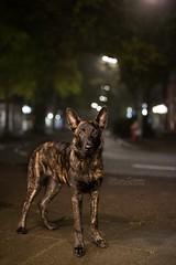 at night (Maria Zielonka) Tags: hund hunde hundefotografie dog dogs nacht nachts night street strase hamburg hollndischerschferhund hollandseherder herdershond dutch shepherd mariazielonkafotografie photography outdoor