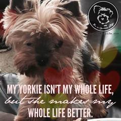 Absolutely! (itsayorkielife) Tags: yorkiememe yorkie yorkshireterrier quote