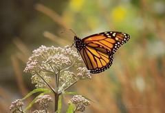 "Macro Mondays ""Backlit"" (NaturewithMar) Tags: monarch butterfly macromondays backlit macro sunset milkweed plant nikoncoolpix ngc npc"