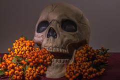 Howell_SHL_3_10_16(Mixture) (Willow R. Howell Photography) Tags: hslighting hardandsoftlight hardlight light lighting softlight skull cranium plastic orange burry berry