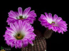 Echinocereus rubrispinus Lau88 (clement_peiffer) Tags: echinocereus rigidissimus v rubrispinus lau88 d7100 105mm nikon cactus fleurs flower cactaceae succulent peifferclement flowerscolors