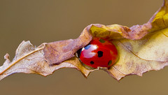 Ladybird Coccinella Septempunctata (Ivan Lynas Nature Photography) Tags: