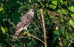 Shikra (Nishith_Pursnani) Tags: shikra bird prey birds india indian wild wildlife nature jungle catch food survival vasai maharashtra nikon tamron nishith pursnani nmp