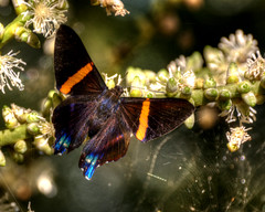 Mariposa de Ancn / Ancon Butterfly (drlopezfranco) Tags: panama panam ancn cerro reserva hill mariposa insecto butterfly insect bug bicho color macro close cerca