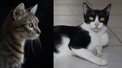 Las Seoritas (AnyMotion) Tags: lasseoritas nelli mira pet cat cats katze katzen animals tiere portrait portrt 2016 anymotion tabby getigert atigrada blackandwhite schwarzweis blancoynegro flin chat gata 6d canoneos6d