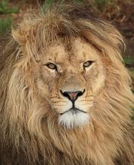 african lion Beekse bergen JN6A7304 (j.a.kok) Tags: leeuw lion afrikaanseleeuw africanlion pantheraleoleo africa afrika cat kat predator roofdier zoogdier mammal beeksebergen