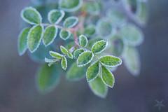 (Sabrina Kemkes) Tags: grn frost hagebutte blau