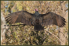 Turkey Vulture Spread 4495 (maguire33@verizon.net) Tags: pradoregionalpark turkeyvulture vulture bird wetlands wildlife chino california unitedstates us