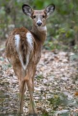 Whitetail Doe. (Estrada77) Tags: nikon 200500mm outdoors wildlife october birds deer furr white tail