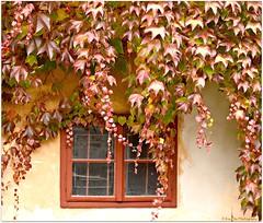 herbstlicher  Fensterblick (mayflower31) Tags: fenster window herbst autumn wilderwein